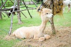 Bel alpaga blanc dans le domaine d'herbe pour le fond animal Image libre de droits