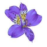 Bel alstroemeria violet lumineux avec l'effet d'aquarelle d'isolement sur le fond blanc Images libres de droits