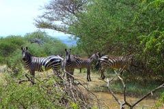 Bel animal du Kenya - la famille de zèbre Image libre de droits