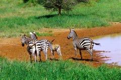 Bel animal du Kenya - le zèbre Image libre de droits