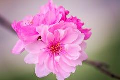 Bel Apple fleurissent macro photographie Images stock