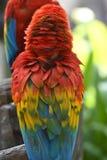 Bel ara d'écarlate d'oiseau Photos stock
