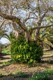 Bel arbre avec l'araond de feuilles le tronc Images stock