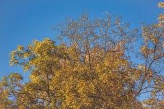 Bel arbre avec les feuilles oranges Photos stock