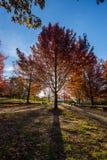 Bel arbre coloré d'Autumn Maple Images libres de droits