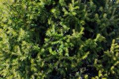 Bel arbre conifére sur le fond frais de forêt naturelle Image stock