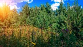 Bel arbre d'été dans le domaine de pin Fond en gros plan de brindilles vertes beau Ciel bleu un jour d'été Photographie stock libre de droits
