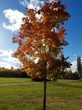 Bel arbre d'automne avec les feuilles colorées Images stock