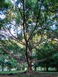 Bel arbre dans le jardin botanique de Kandy Photos stock