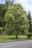 Bel arbre de châtaigne fleurissant harmonieux au printemps à Kiev Photos stock