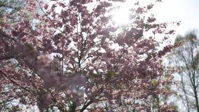 Bel arbre de fleurs de cerisier de Sakura pendant le matin en parc de victoire de l'Europe Riga - rose et couleurs en pastel tend banque de vidéos