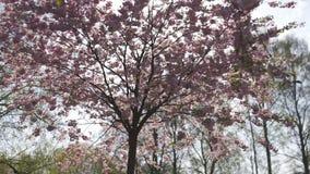 Bel arbre de fleurs de cerisier de Sakura pendant le matin en parc de victoire de l'Europe Riga - rose et couleurs en pastel tend clips vidéos