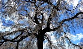 Bel arbre de fleurs de cerisier Photographie stock libre de droits