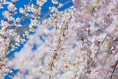 bel arbre de floraison sur le dos clair merveilleux de ciel Image stock