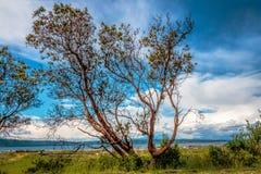 Bel arbre de Madrone avec le fond de ciel bleu images stock
