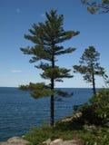 Bel arbre de pin Image stock