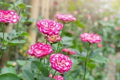 Bel arbre de roses roses et blanches dans le jardin Photographie stock
