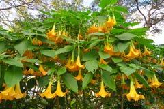 Bel arbre géant de datura dans un jardin Photographie stock