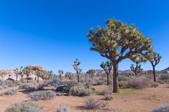Bel arbre raidi en plaines de désert de Joshua Tree National Park, la Californie Etats-Unis photos stock