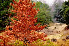 Bel arbre rouge Image stock