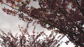 Bel arbre rouge de fleurs de cerisier de Sakura pendant le coucher du soleil à Riga, Lettonie clips vidéos