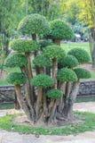 Bel arbuste de buisson de buisson rugueux siamois sous forme de champignon image libre de droits