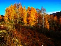 Bel automne, bouleau d'or Photo stock