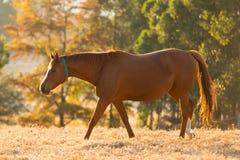 Bel automne de cheval photos stock