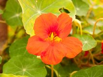 Bel automne rouge étroit haut de pétale de fleur de jardin Image stock