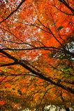 Bel Autumn Foliage chez Takao, Kyoto, Japon Images stock