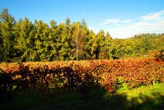 Bel Autumn Landscape With Multi-Colored Lines des vignes de vignobles Autumn Color Vineyard Photo libre de droits