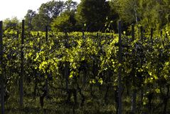 Bel Autumn Landscape With Multi-Colored Lines des vignes de vignobles Autumn Color Vineyard Photo stock