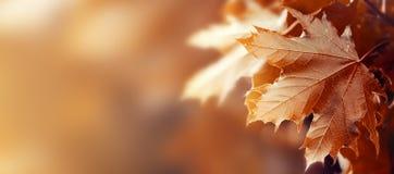 Bel Autumn Leaves sur Autumn Red Background Sunny Daylight Image libre de droits
