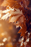 Bel Autumn Leaves sur Autumn Red Background Sunny Daylight Images stock