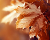 Bel Autumn Leaves sur Autumn Red Background Sunny Daylight Photographie stock