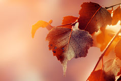 Bel Autumn Leaves sur Autumn Red Background Sunny Daylight Photographie stock libre de droits