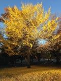 Bel Autumn Tree avec les feuilles en baisse images libres de droits