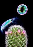 Bel die op cactus barst Royalty-vrije Stock Afbeeldingen