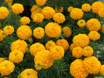 Bel erecta jaune de Tagetes de jardin de souci Photo stock