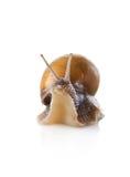 Bel escargot de jardin Image libre de droits