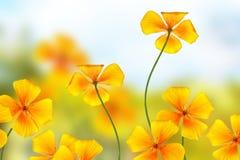 Bel eschscholzia coloré de fleurs sur le fond du Images stock