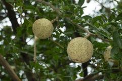 Bel fal, fruit de Maja, Aegle Marmelos près de Pune, maharashtra, Inde photo libre de droits