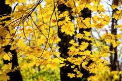 Bel horizontal d'automne Lame d'automne Forêt colorée, parc Images stock