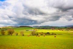 Bel horizontal rural avec frôler des vaches photos libres de droits