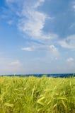 Bel horizontal rural avec la zone de blé Image stock