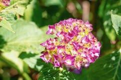 Bel hortensia rose dans le jardin Photo libre de droits