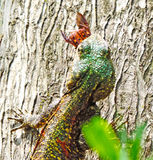 Bel iguane de lézard mangeant un scarabée d'insecte Photo stock
