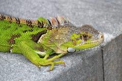 Bel iguane vert sur un pilier, la Floride, Etats-Unis photo libre de droits