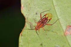 Bel insecte de Mirid photographie stock libre de droits