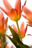 Bel instruction-macro de tulipes rouges photographie stock libre de droits